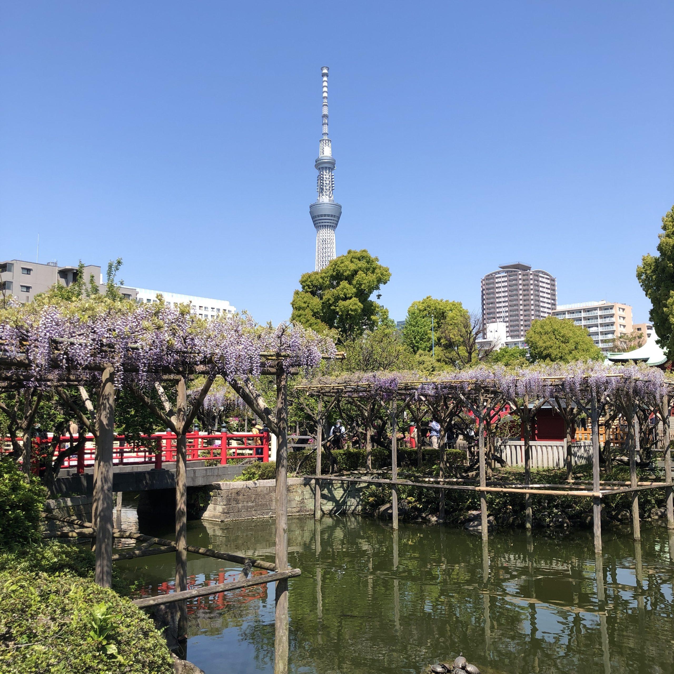 wisteria in Kameido Tenjin